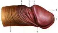 muzhskoy-organ-penis