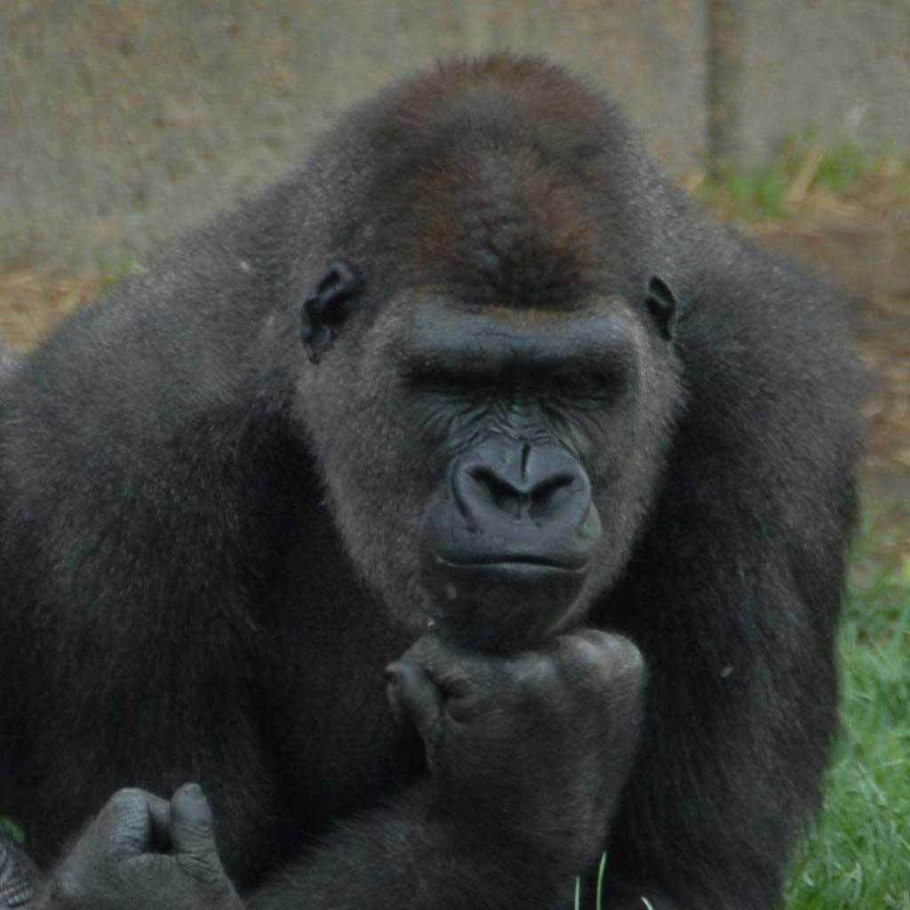 Смотреть пенис гориллы 16 фотография